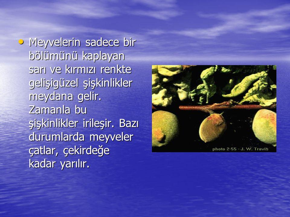 • Meyvelerin sadece bir bölümünü kaplayan sarı ve kırmızı renkte gelişigüzel şişkinlikler meydana gelir. Zamanla bu şişkinlikler irileşir. Bazı duruml