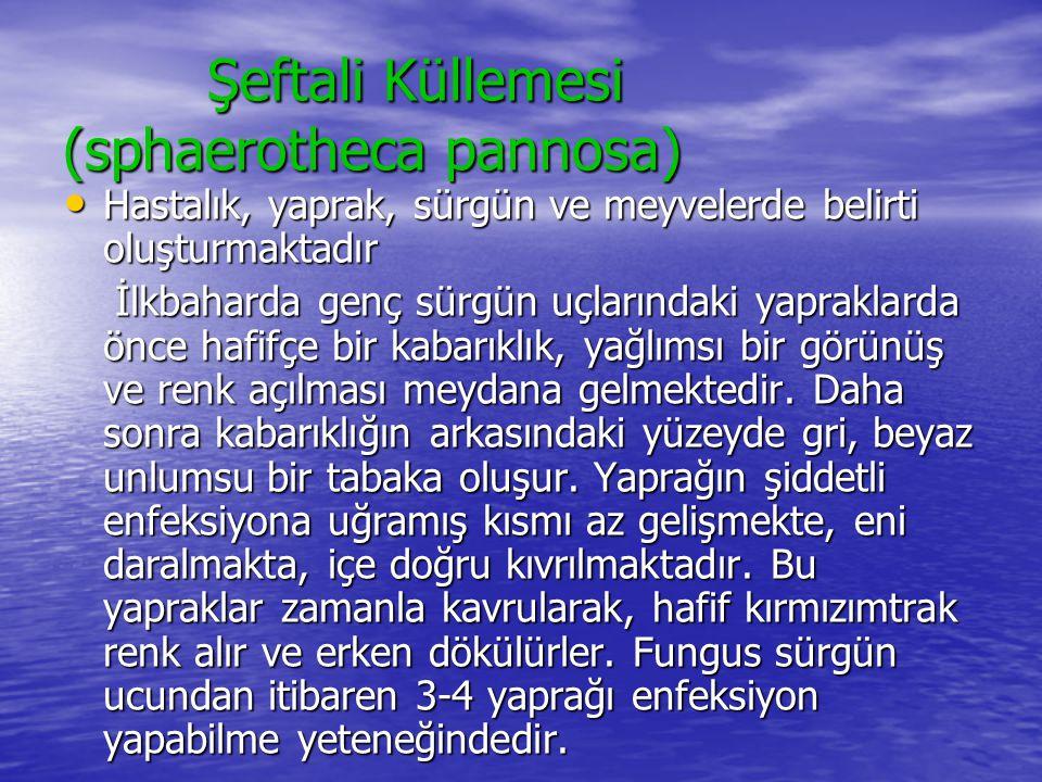Şeftali Küllemesi (sphaerotheca pannosa) Şeftali Küllemesi (sphaerotheca pannosa) • Hastalık, yaprak, sürgün ve meyvelerde belirti oluşturmaktadır İlk