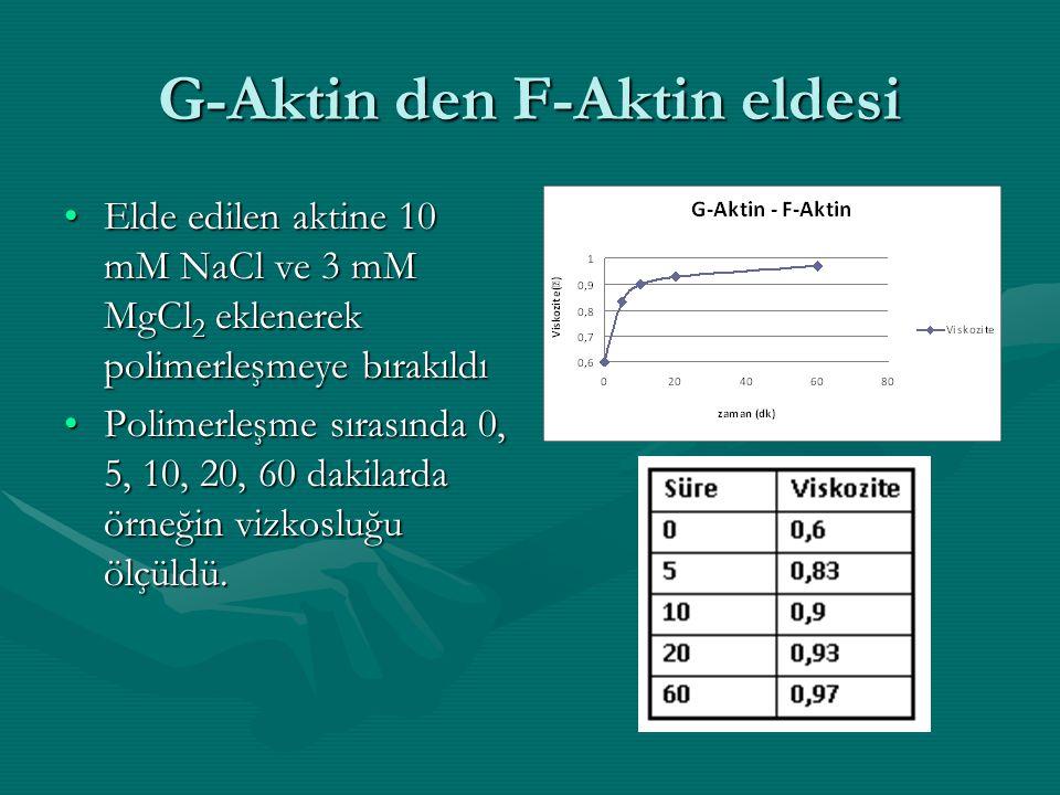 G-Aktin den F-Aktin eldesi •Elde edilen aktine 10 mM NaCl ve 3 mM MgCl 2 eklenerek polimerleşmeye bırakıldı •Polimerleşme sırasında 0, 5, 10, 20, 60 d