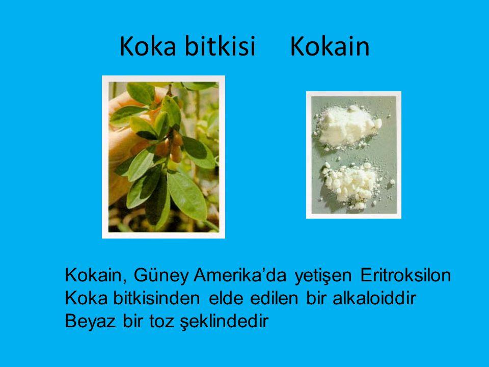 Koka bitkisi Kokain Kokain, Güney Amerika'da yetişen Eritroksilon Koka bitkisinden elde edilen bir alkaloiddir Beyaz bir toz şeklindedir