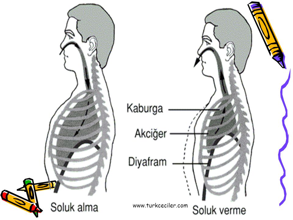 •Doğru diyafram neresi almak için, önce burnumuzdan nefes almalıyız.