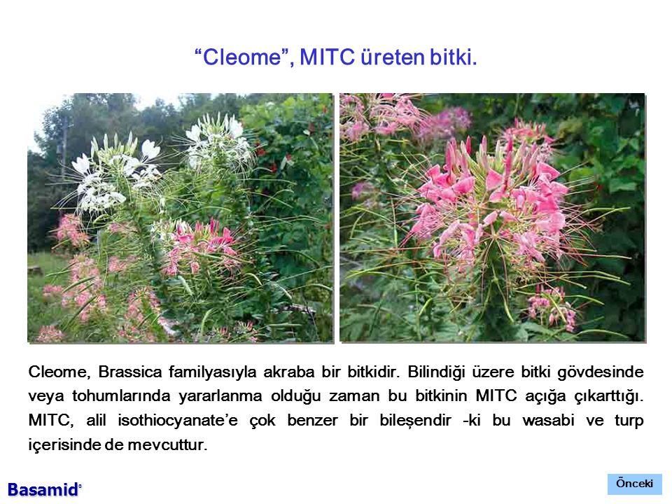 Cleome , MITC üreten bitki.Cleome, Brassica familyasıyla akraba bir bitkidir.