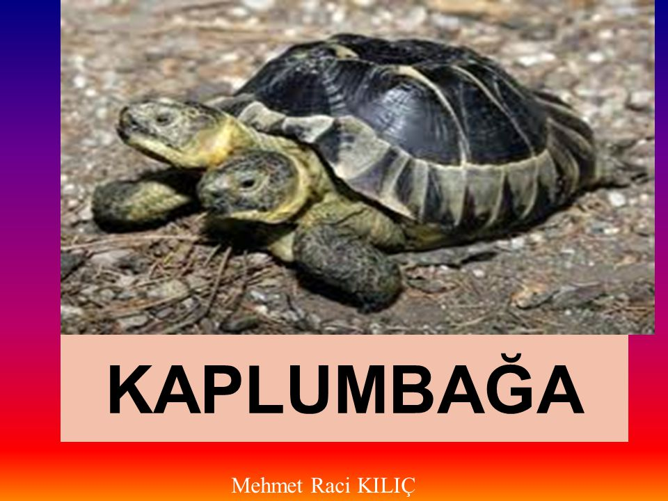KAPLUMBAĞA Mehmet Raci KILIÇ
