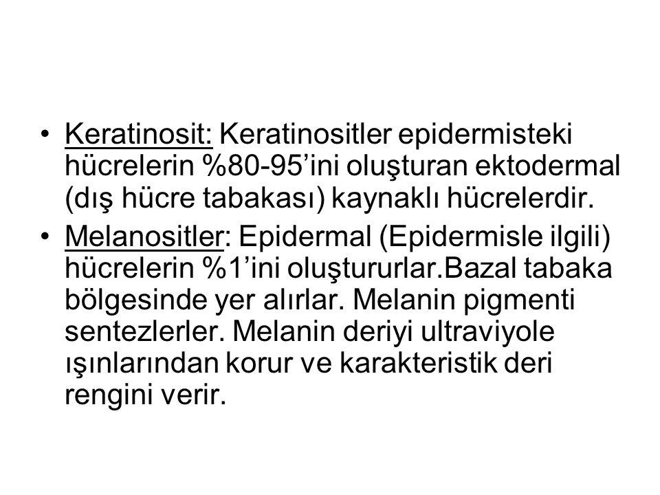 •Keratinosit: Keratinositler epidermisteki hücrelerin %80-95'ini oluşturan ektodermal (dış hücre tabakası) kaynaklı hücrelerdir. •Melanositler: Epider