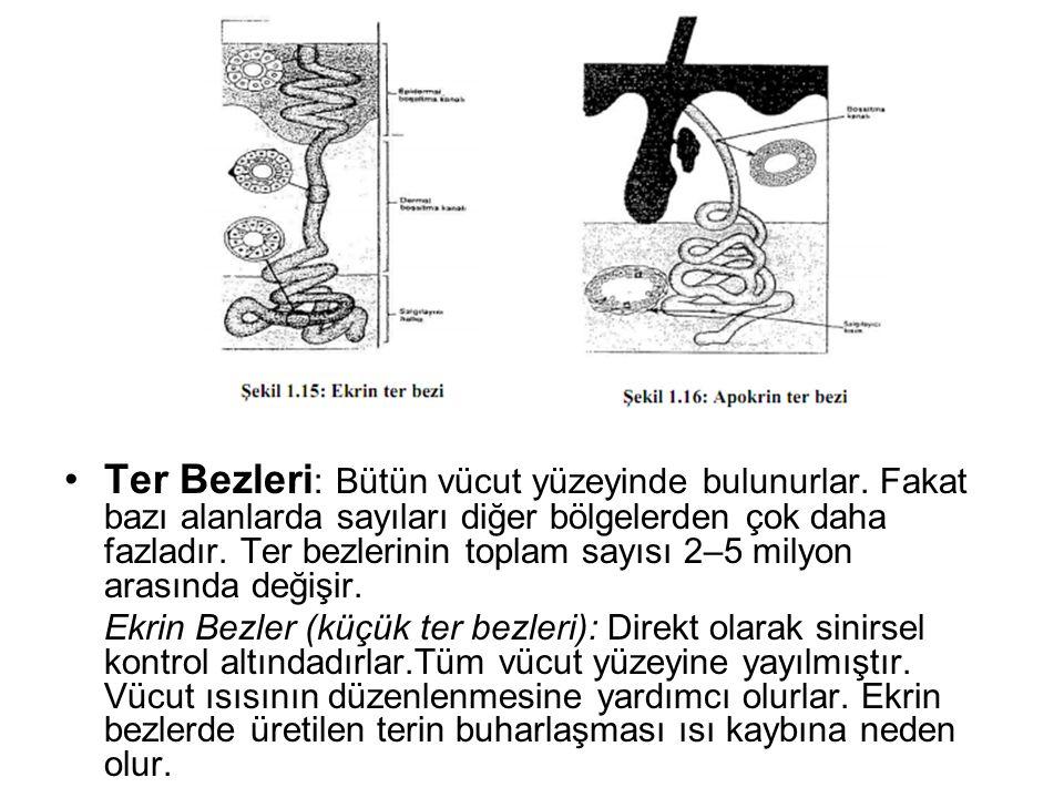 •Ter Bezleri : Bütün vücut yüzeyinde bulunurlar. Fakat bazı alanlarda sayıları diğer bölgelerden çok daha fazladır. Ter bezlerinin toplam sayısı 2–5 m