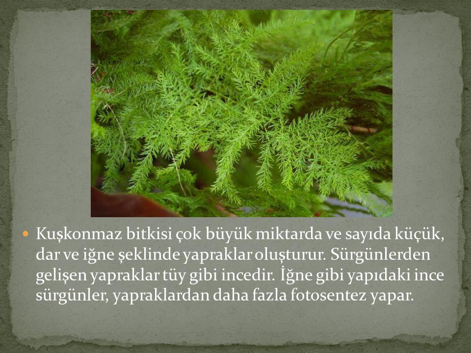  Kuşkonmaz bitkisi çok büyük miktarda ve sayıda küçük, dar ve iğne şeklinde yapraklar oluşturur. Sürgünlerden gelişen yapraklar tüy gibi incedir. İğn