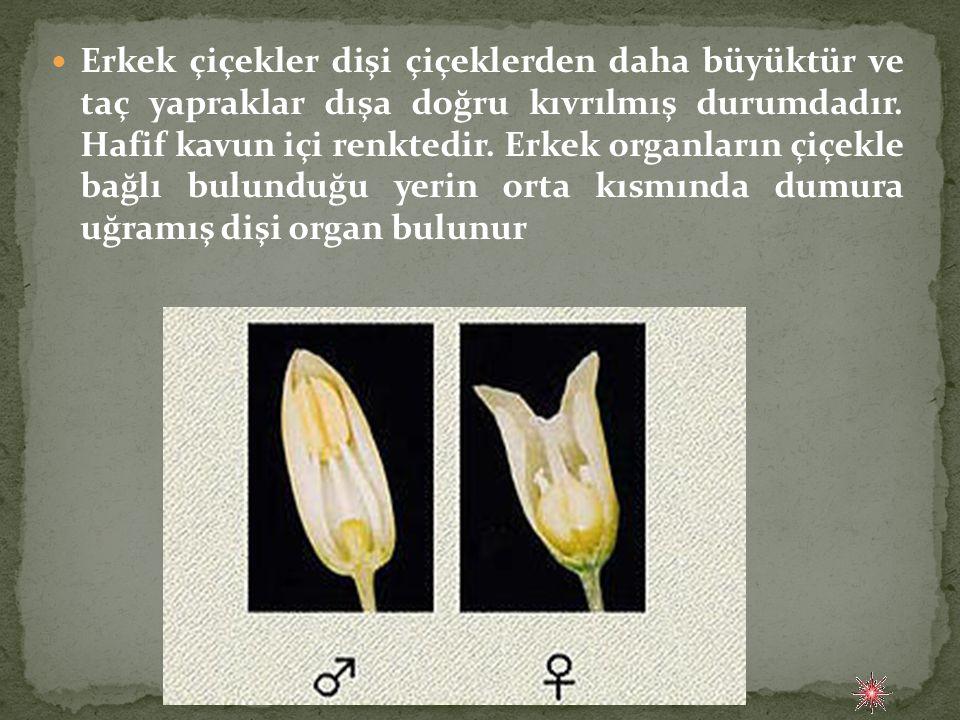  Erkek çiçekler dişi çiçeklerden daha büyüktür ve taç yapraklar dışa doğru kıvrılmış durumdadır. Hafif kavun içi renktedir. Erkek organların çiçekle