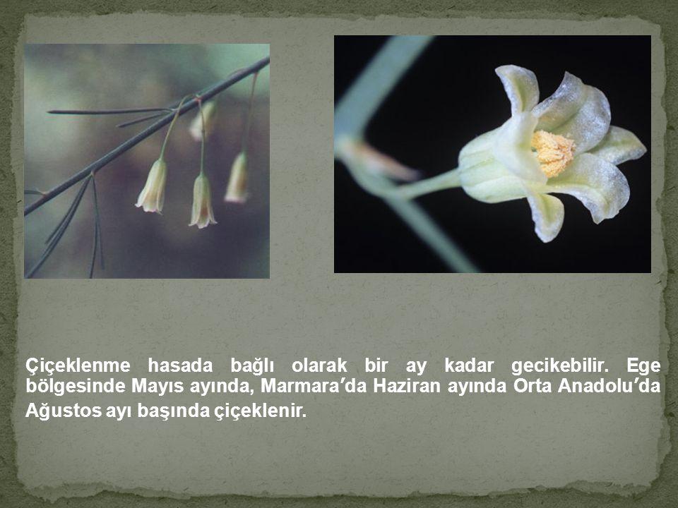 Çiçeklenme hasada bağlı olarak bir ay kadar gecikebilir. Ege bölgesinde Mayıs ayında, Marmara'da Haziran ayında Orta Anadolu'da Ağustos ayı başında çi