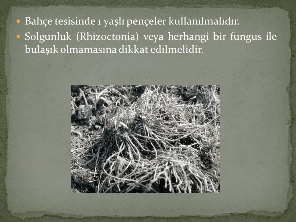  Bahçe tesisinde 1 yaşlı pençeler kullanılmalıdır.  Solgunluk (Rhizoctonia) veya herhangi bir fungus ile bulaşık olmamasına dikkat edilmelidir.
