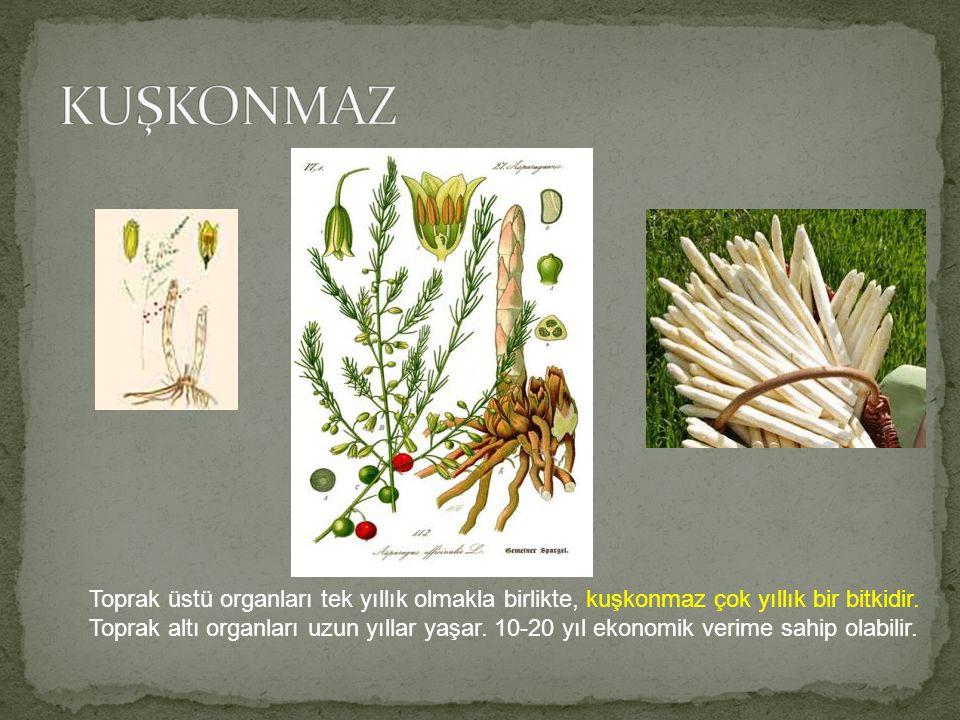 Toprak üstü organları tek yıllık olmakla birlikte, kuşkonmaz çok yıllık bir bitkidir. Toprak altı organları uzun yıllar yaşar. 10-20 yıl ekonomik veri