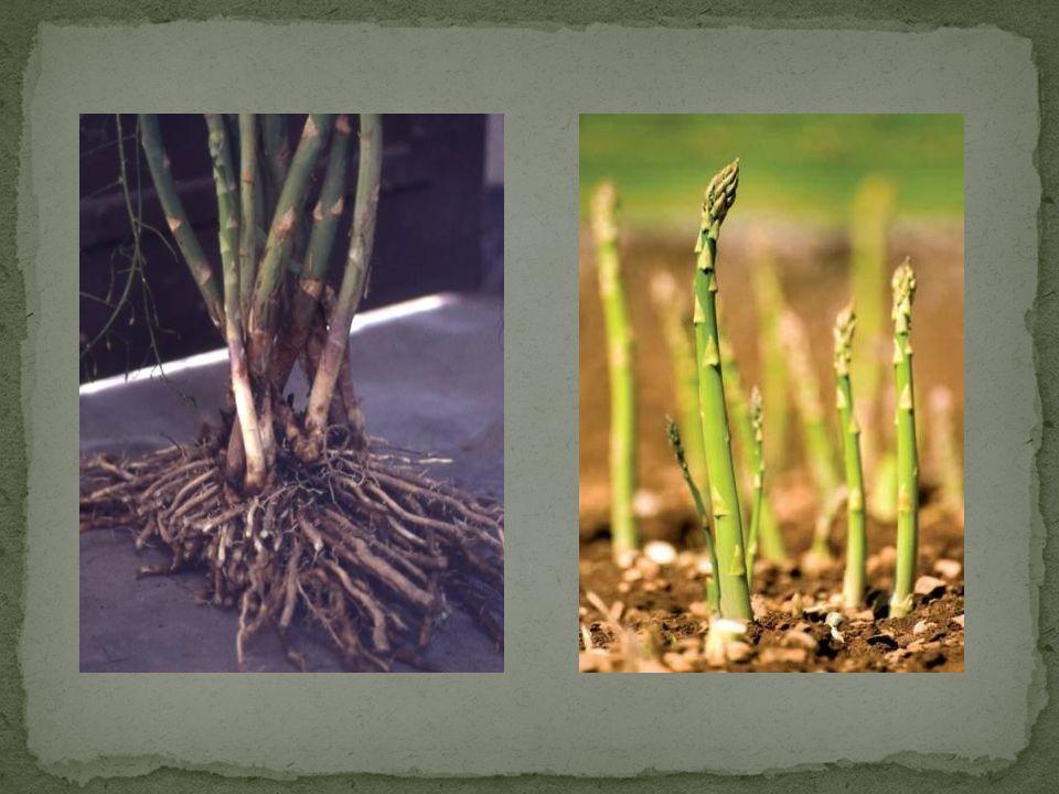 Kuşkonmaz tohumları; Siyah renkli böbrek şeklinde basıktır, 3-4 mm genişlik, 3-4 mm uzunluk ve 2 mm kalınlıktadır.