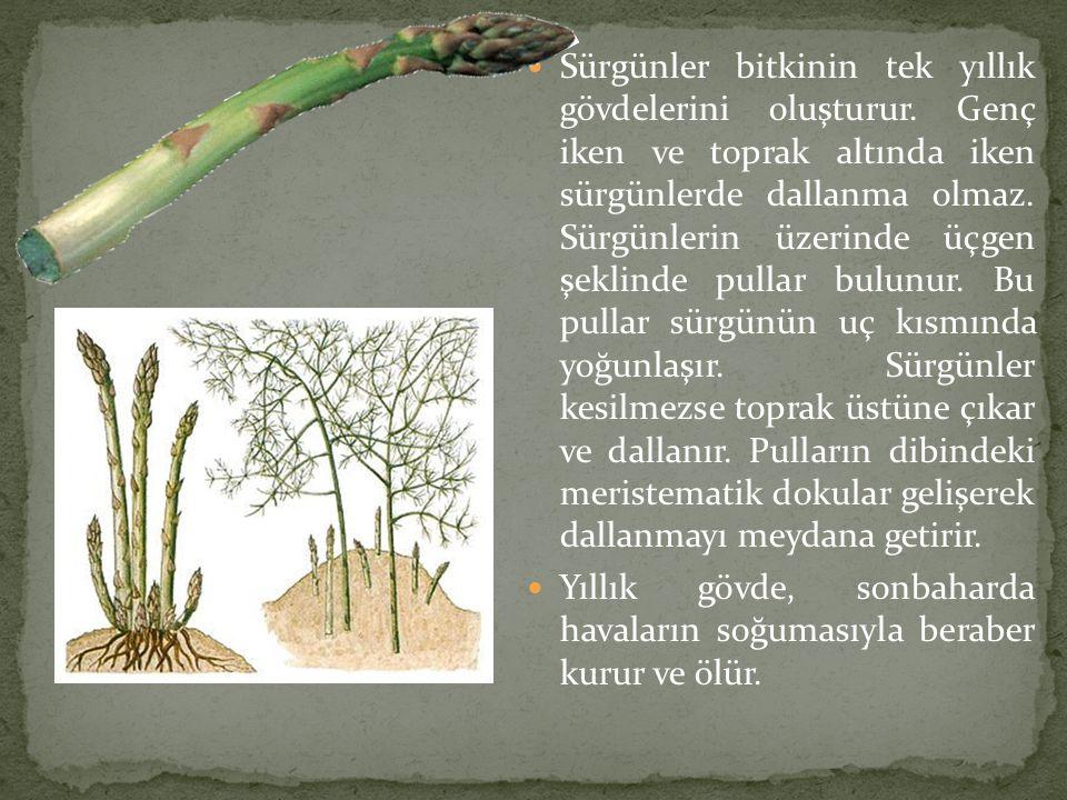  Sürgünler bitkinin tek yıllık gövdelerini oluşturur. Genç iken ve toprak altında iken sürgünlerde dallanma olmaz. Sürgünlerin üzerinde üçgen şeklind