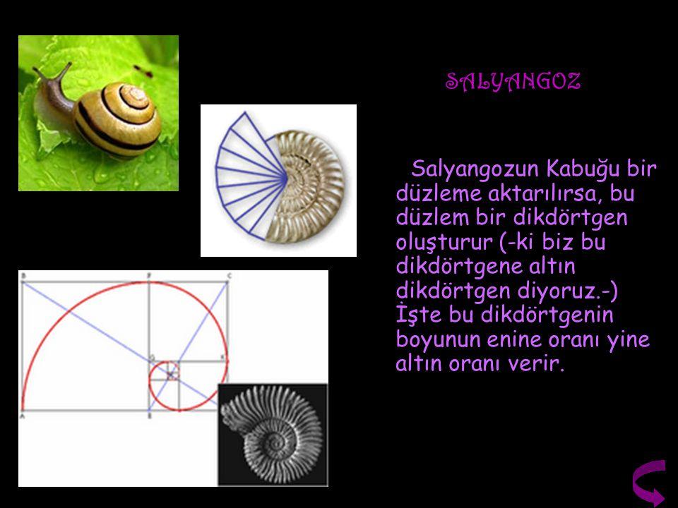 SALYANGOZ Salyangozun Kabuğu bir düzleme aktarılırsa, bu düzlem bir dikdörtgen oluşturur (-ki biz bu dikdörtgene altın dikdörtgen diyoruz.-) İşte bu d