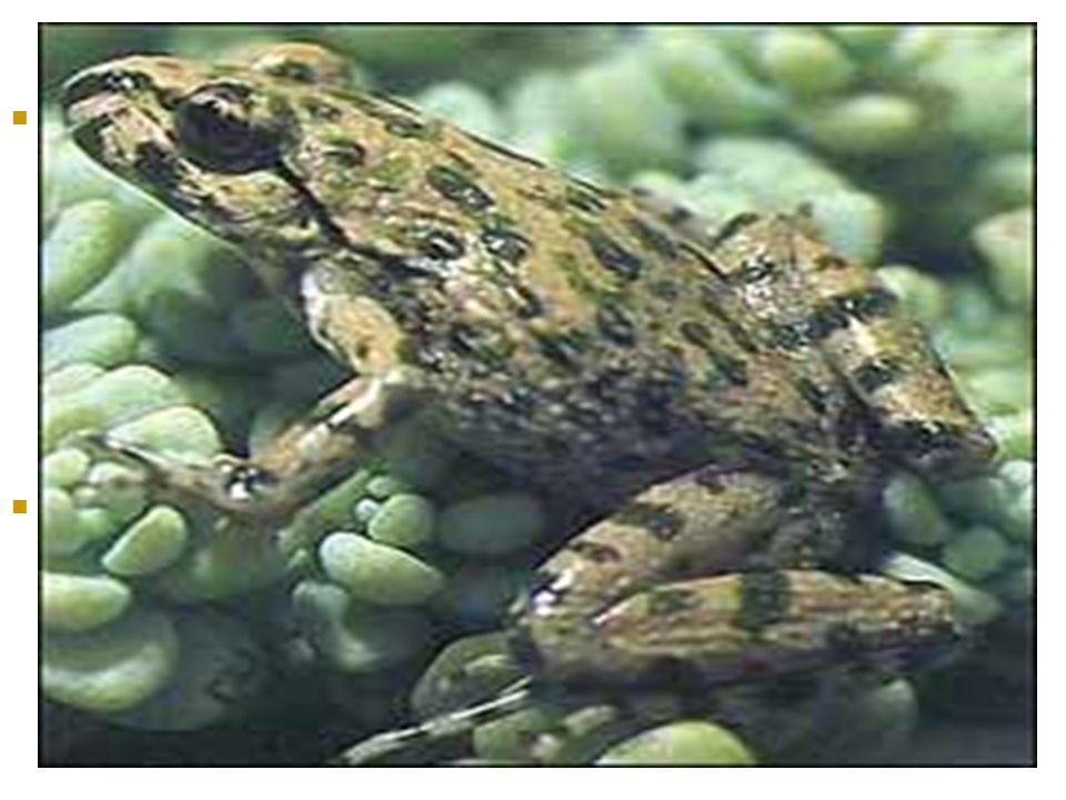 BESLENMELERİ  Ergin kurbağalar yalnız canlı ve hareketli böcek, solucan ve küçük yumuşakçalarla beslenirler. Sucul formlardan büyük formda olanları k