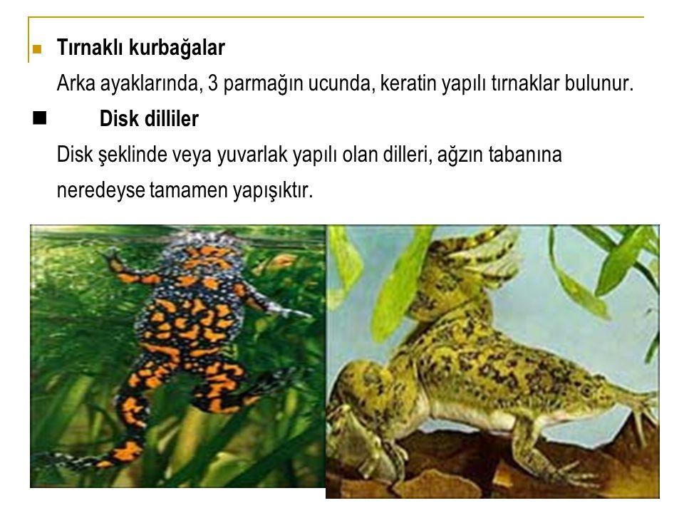  Tırnaklı kurbağalar Arka ayaklarında, 3 parmağın ucunda, keratin yapılı tırnaklar bulunur.  Disk dilliler Disk şeklinde veya yuvarlak yapılı olan d
