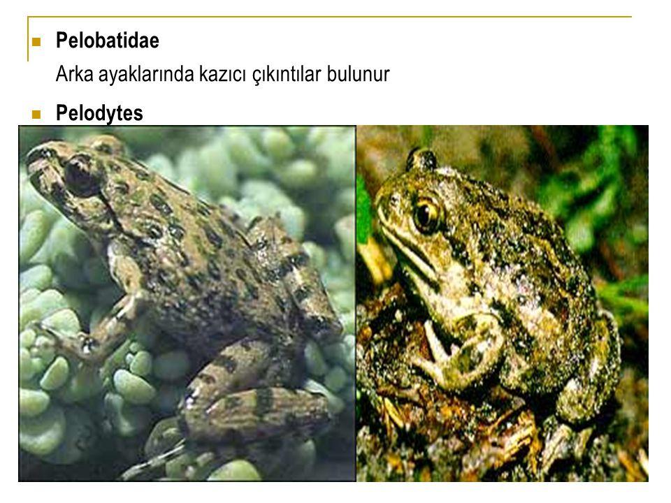  Pelobatidae Arka ayaklarında kazıcı çıkıntılar bulunur  Pelodytes