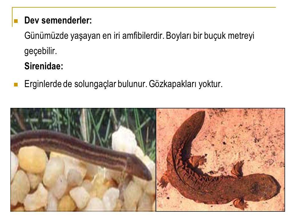  Dev semenderler: Günümüzde yaşayan en iri amfibilerdir. Boyları bir buçuk metreyi geçebilir. Sirenidae:  Erginlerde de solungaçlar bulunur. Gözkapa
