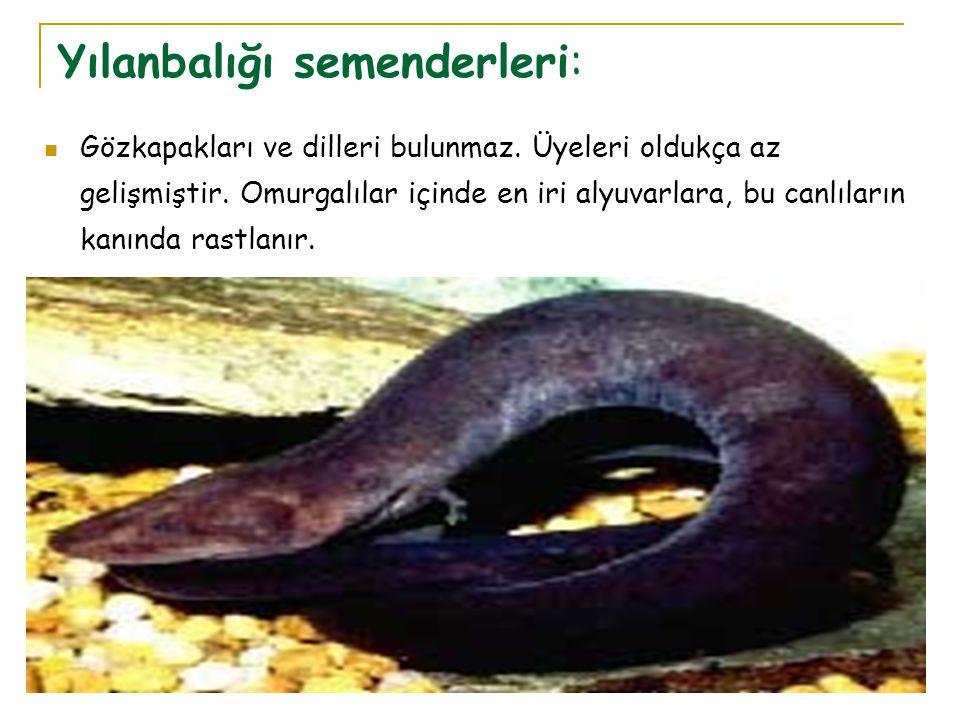 Yılanbalığı semenderleri:  Gözkapakları ve dilleri bulunmaz. Üyeleri oldukça az gelişmiştir. Omurgalılar içinde en iri alyuvarlara, bu canlıların kan