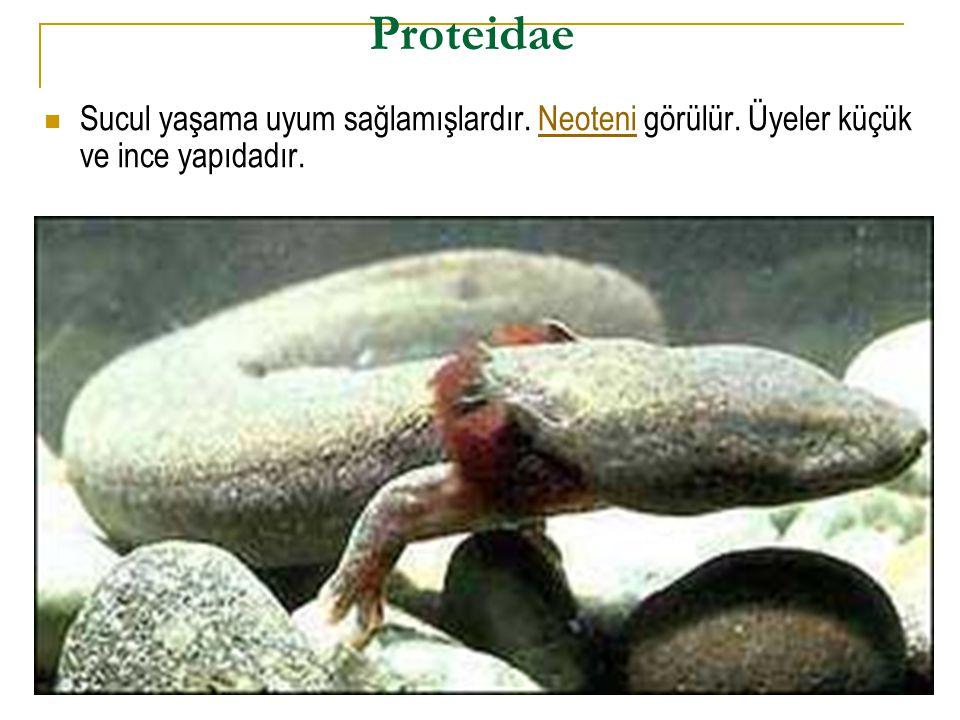 Proteidae  Sucul yaşama uyum sağlamışlardır. Neoteni görülür. Üyeler küçük ve ince yapıdadır.Neoteni