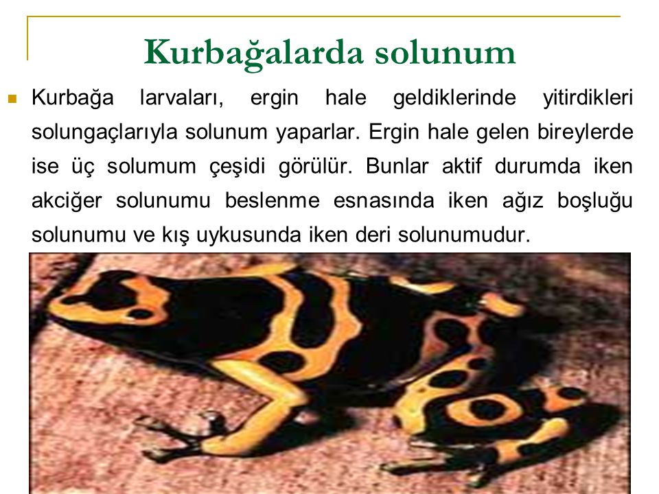 Kurbağalarda solunum  Kurbağa larvaları, ergin hale geldiklerinde yitirdikleri solungaçlarıyla solunum yaparlar. Ergin hale gelen bireylerde ise üç s