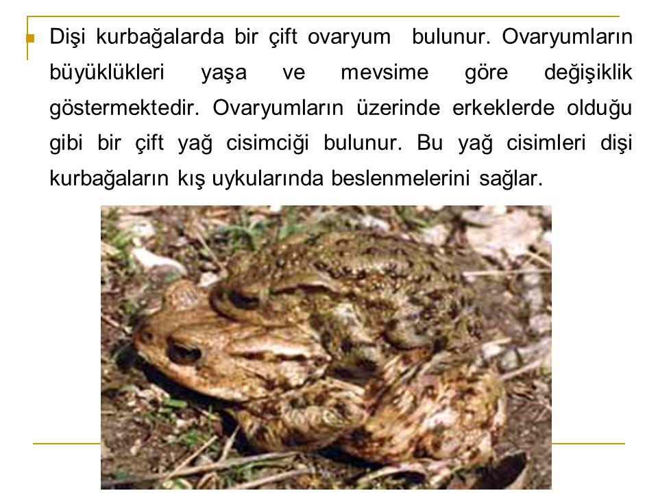  Dişi kurbağalarda bir çift ovaryum bulunur. Ovaryumların büyüklükleri yaşa ve mevsime göre değişiklik göstermektedir. Ovaryumların üzerinde erkekler