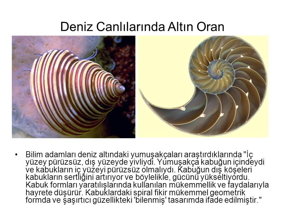 Deniz Canlılarında Altın Oran •Bilim adamları deniz altındaki yumuşakçaları araştırdıklarında