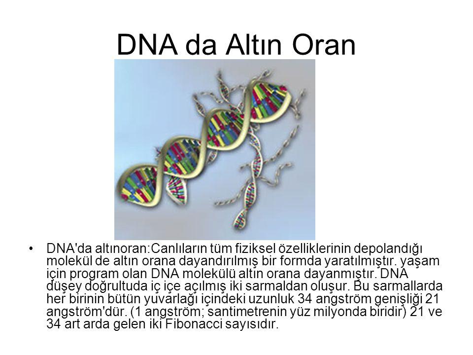 DNA da Altın Oran •DNA'da altınoran:Canlıların tüm fiziksel özelliklerinin depolandığı molekül de altın orana dayandırılmış bir formda yaratılmıştır.