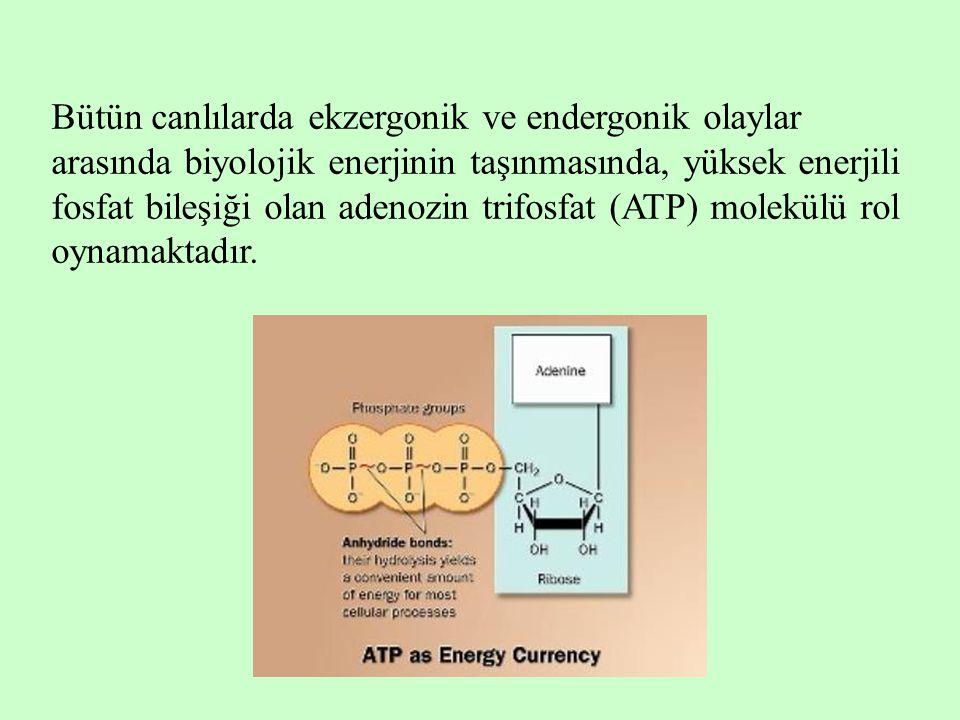 Bütün canlılarda ekzergonik ve endergonik olaylar arasında biyolojik enerjinin taşınmasında, yüksek enerjili fosfat bileşiği olan adenozin trifosfat (