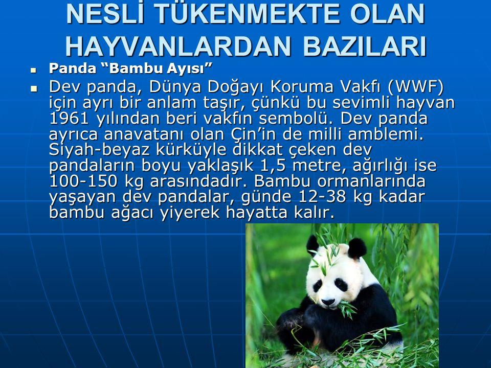 """NESLİ TÜKENMEKTE OLAN HAYVANLARDAN BAZILARI  Panda """"Bambu Ayısı""""  Dev panda, Dünya Doğayı Koruma Vakfı (WWF) için ayrı bir anlam taşır, çünkü bu sev"""