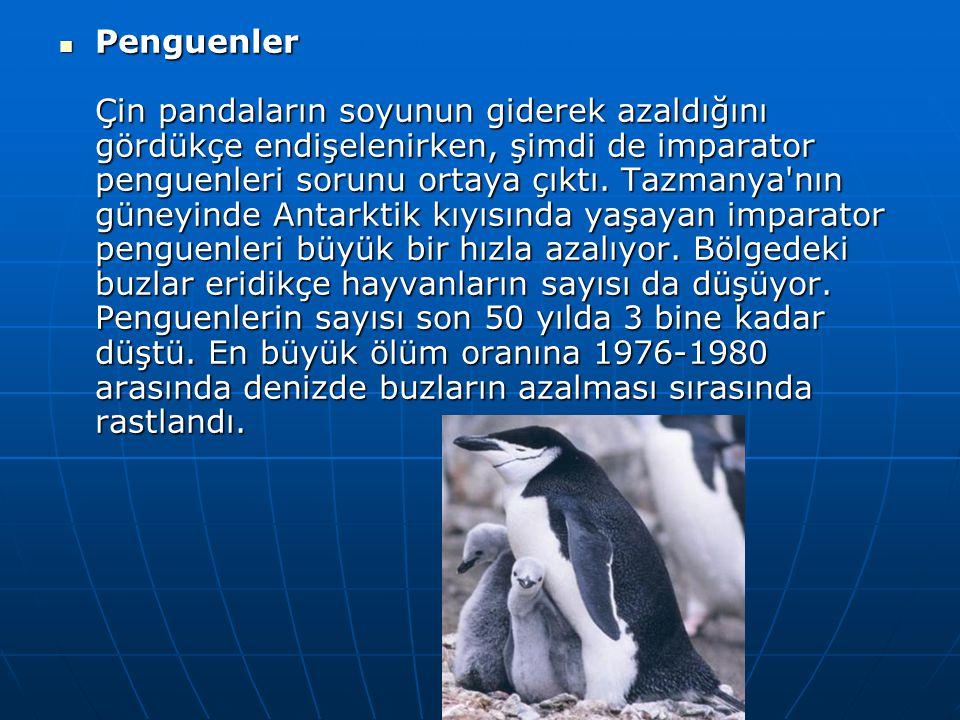  Penguenler Çin pandaların soyunun giderek azaldığını gördükçe endişelenirken, şimdi de imparator penguenleri sorunu ortaya çıktı. Tazmanya'nın güney