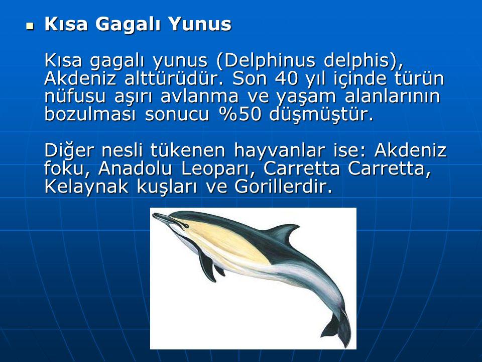  Kısa Gagalı Yunus Kısa gagalı yunus (Delphinus delphis), Akdeniz alttürüdür. Son 40 yıl içinde türün nüfusu aşırı avlanma ve yaşam alanlarının bozul