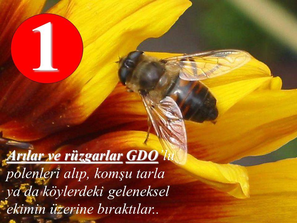 Arılar ve rüzgarlarGDO Arılar ve rüzgarlar GDO'lu polenleri alıp, komşu tarla ya da köylerdeki geleneksel ekimin üzerine bıraktılar..1