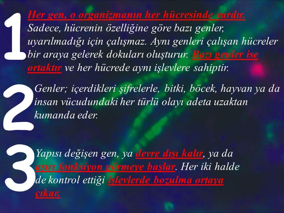 Her gen, o organizmanın her hücresinde vardır. Sadece, hücrenin özelliğine göre bazı genler, uyarılmadığı için çalışmaz. Aynı genleri çalışan hücreler