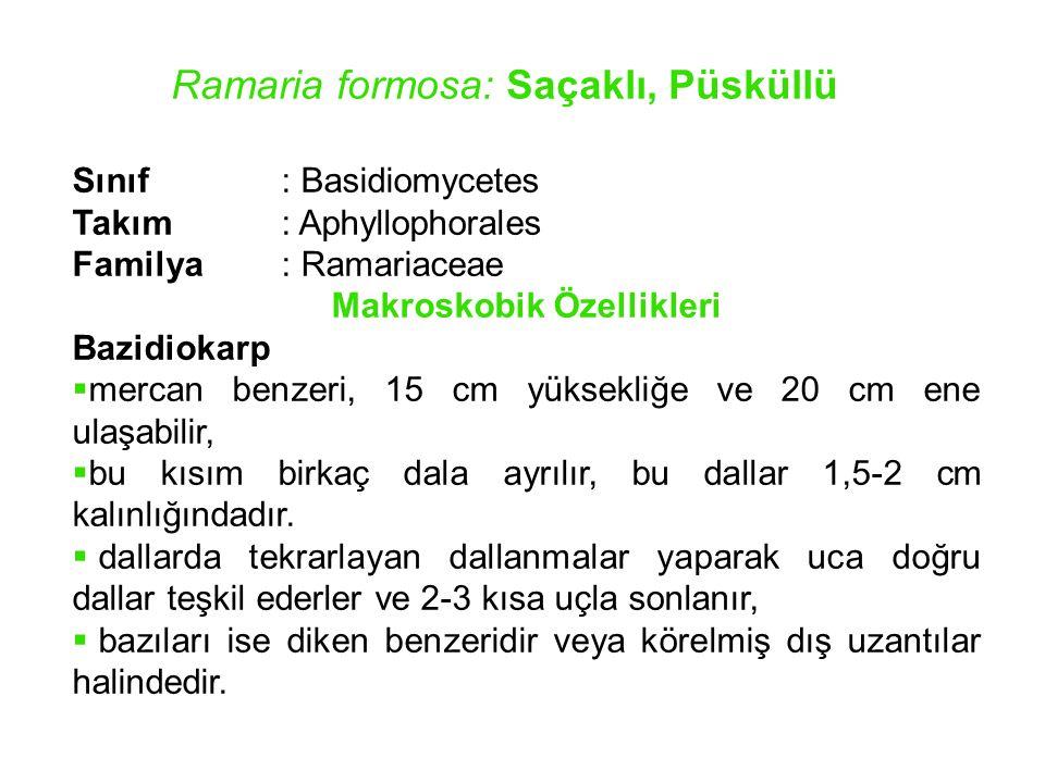 Ramaria formosa: Saçaklı, Püsküllü Sınıf : Basidiomycetes Takım : Aphyllophorales Familya: Ramariaceae Makroskobik Özellikleri Bazidiokarp  mercan be