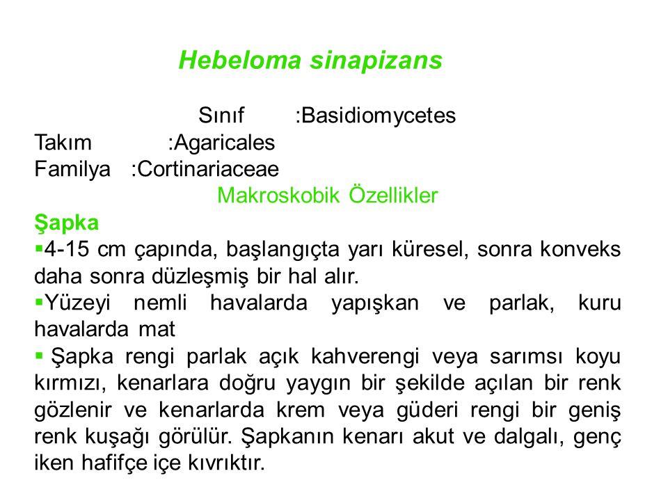 Hebeloma sinapizans Sınıf :Basidiomycetes Takım:Agaricales Familya:Cortinariaceae Makroskobik Özellikler Şapka  4-15 cm çapında, başlangıçta yarı kür