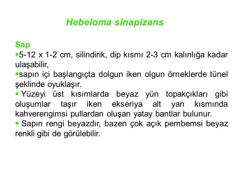 Hebeloma sinapizans Sap  5-12 x 1-2 cm, silindirik, dip kısmı 2-3 cm kalınlığa kadar ulaşabilir,  sapın içi başlangıçta dolgun iken olgun örneklerde
