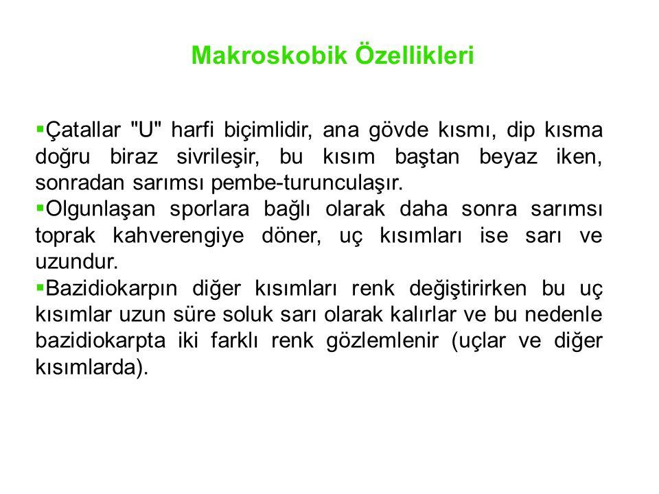 Yayılışı Konya, İçel, İzmir, Manisa, Balıkesir, Bursa ve Çanakkale'de belirlenmiştir.