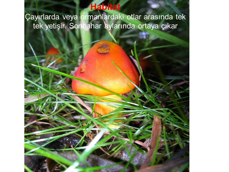 Habitat Çayırlarda veya ormanlardaki otlar arasında tek tek yetişir. Sonbahar aylarında ortaya çıkar