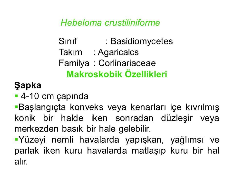 Hebeloma crustiliniforme Sınıf: Basidiomycetes Takım: Agaricalcs Familya: Corlinariaceae Makroskobik Özellikleri Şapka  4-10 cm çapında  Başlangıçta
