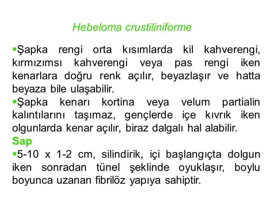 Hygrocybe nigrescens Syn.: H.