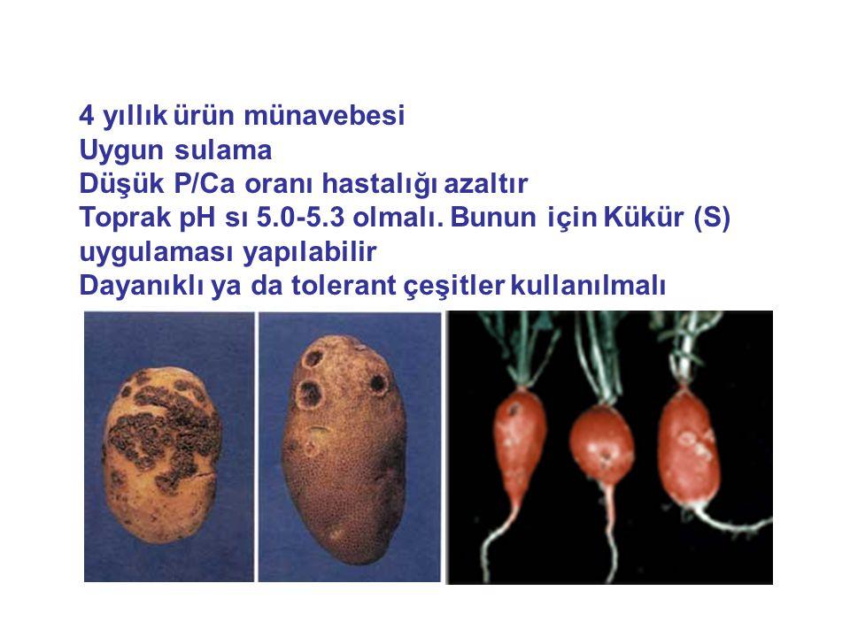 Hastalık etmeni bakteri ışık mikroskobu altında myceliuma benzer bir yapıda görülür.