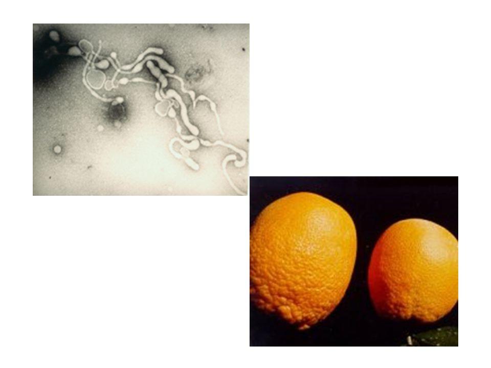 Turp Spiroplasma Hastaligi Etmeni Spiroplasma citri Mikoplasmalar genom olarak bakteriler ile kiyaslandiklarinda nispeten küçük bir genoma sahiptirler.