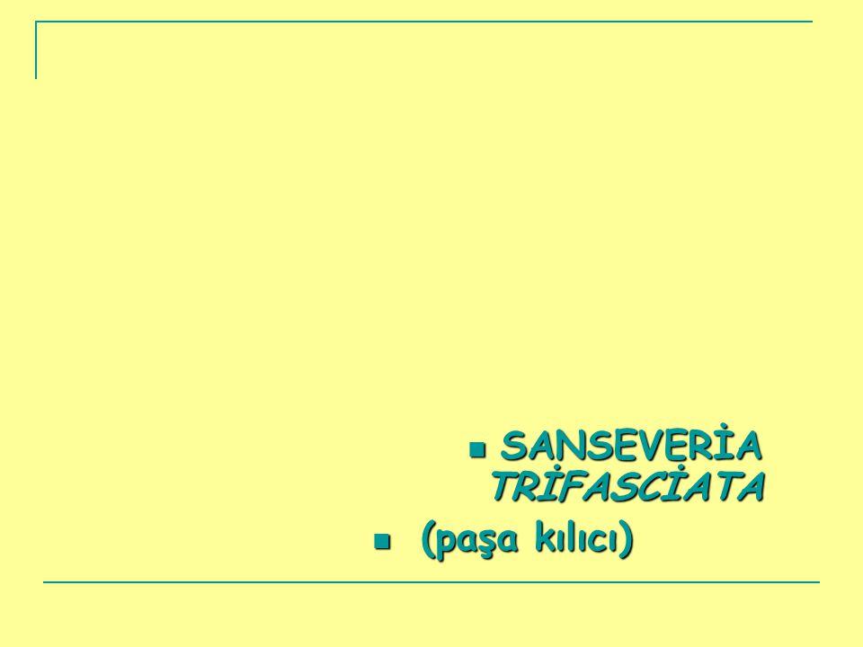  SANSEVERİA TRİFASCİATA  (paşa kılıcı)