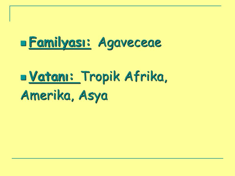  Familyası: Agaveceae  Vatanı: Tropik Afrika, Amerika, Asya