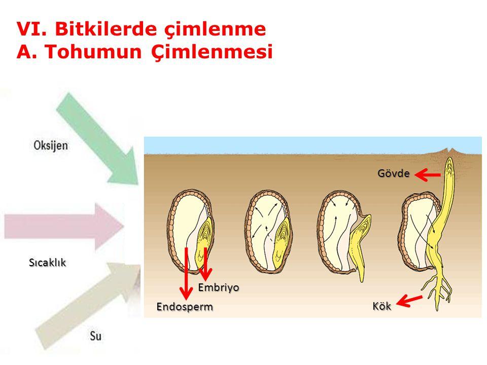 VI. Bitkilerde çimlenme A. Tohumun Çimlenmesi Sıcaklık Embriyo Endosperm Kök Gövde