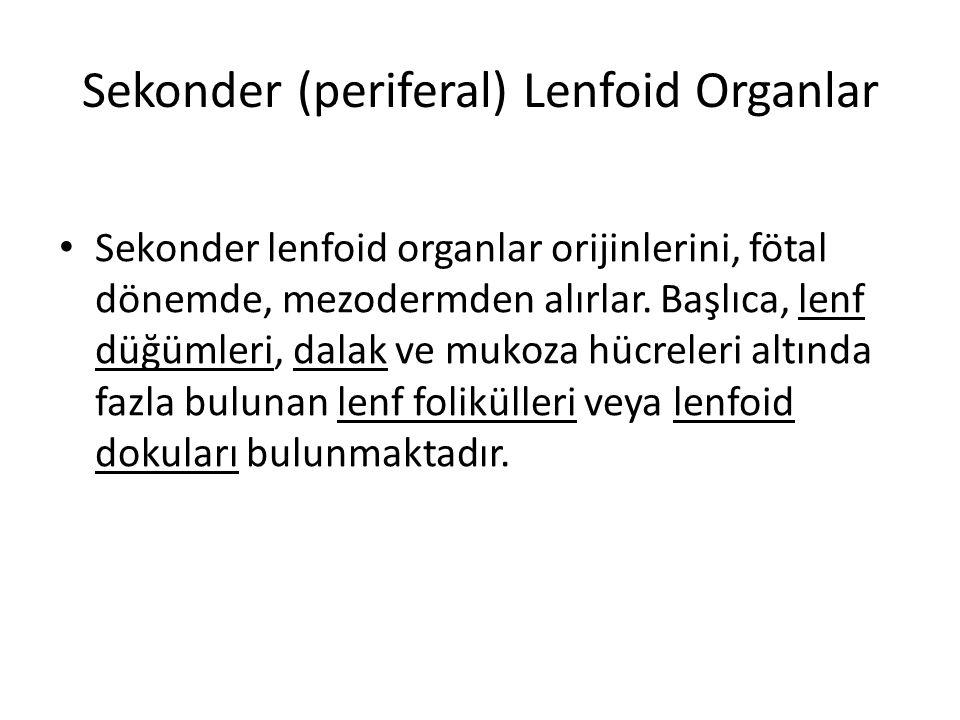 Sekonder (periferal) Lenfoid Organlar • Sekonder lenfoid organlar orijinlerini, fötal dönemde, mezodermden alırlar. Başlıca, lenf düğümleri, dalak ve