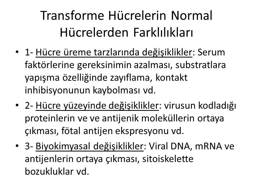 Transforme Hücrelerin Normal Hücrelerden Farklılıkları • 1- Hücre üreme tarzlarında değişiklikler: Serum faktörlerine gereksinimin azalması, substratl
