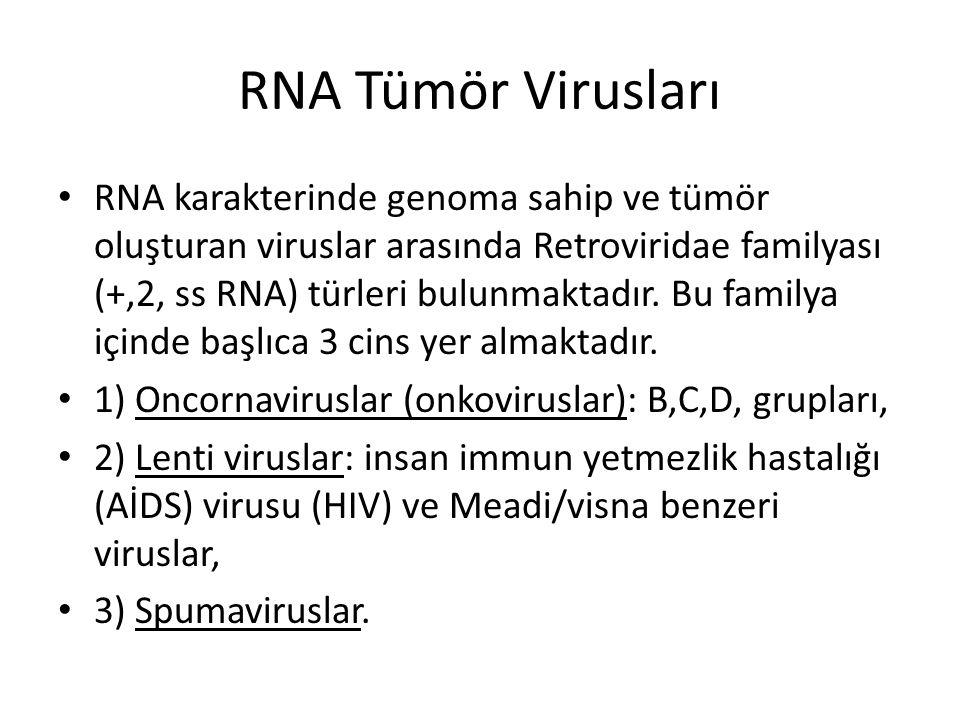 RNA Tümör Virusları • RNA karakterinde genoma sahip ve tümör oluşturan viruslar arasında Retroviridae familyası (+,2, ss RNA) türleri bulunmaktadır. B