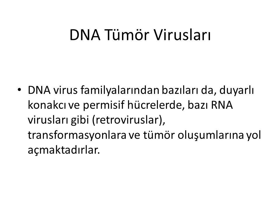 DNA Tümör Virusları • DNA virus familyalarından bazıları da, duyarlı konakcı ve permisif hücrelerde, bazı RNA virusları gibi (retroviruslar), transfor
