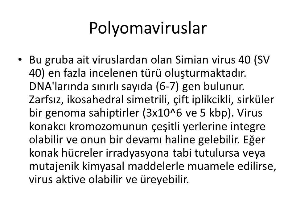Polyomaviruslar • Bu gruba ait viruslardan olan Simian virus 40 (SV 40) en fazla incelenen türü oluşturmaktadır. DNA'larında sınırlı sayıda (6-7) gen
